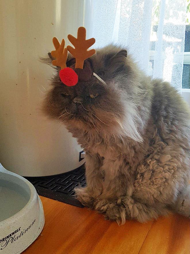 недовольный серый кот