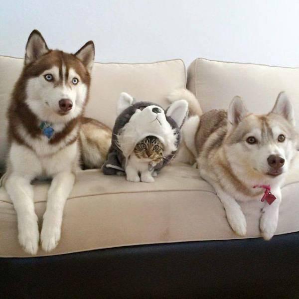 хаски и кот на диване