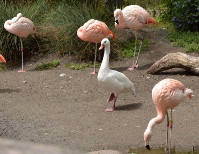 гусь среди фламинго