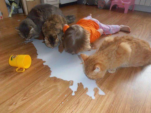 коты пьют разлитое молоко с девочкой