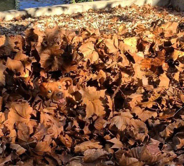 рыжая собака в осенних листьях