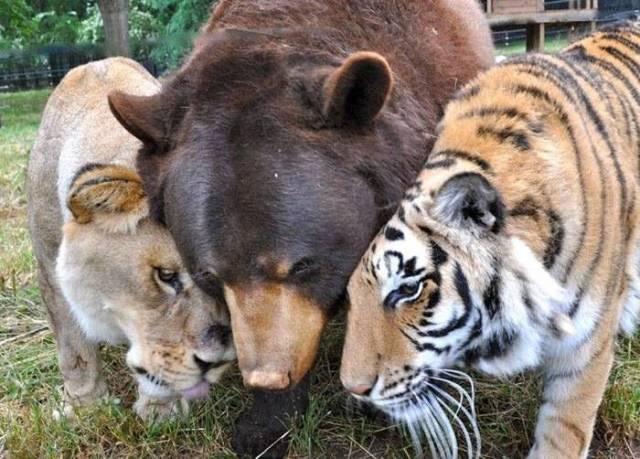 лев, тигр и медведь