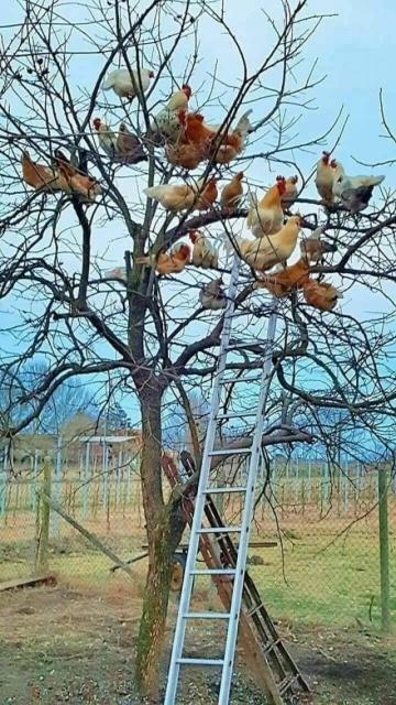 курицы на дереве