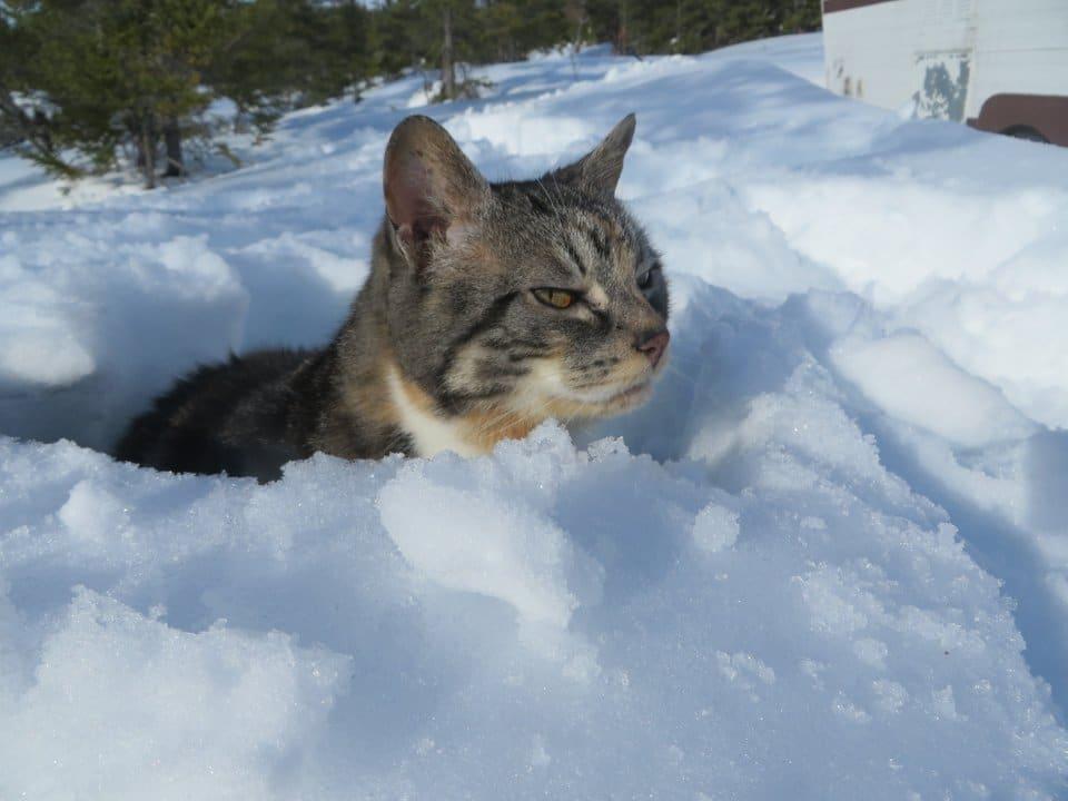 полосатый кот сидит в сугробе