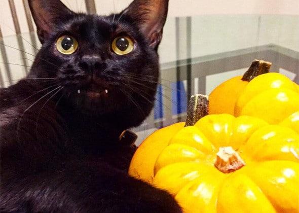 черный кот рядом с тыквами
