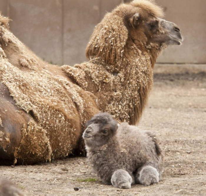 верблюд и верблюжонок