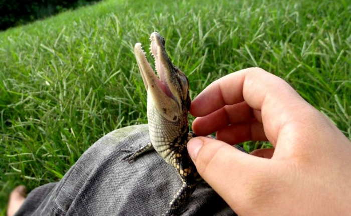 маленький крокодильчик на колене