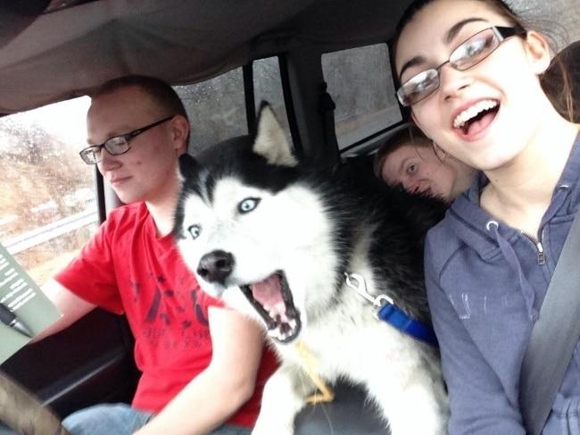 хаски в машине