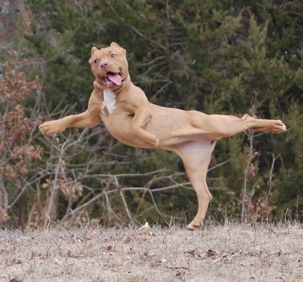 Собака танцует, высунув язык