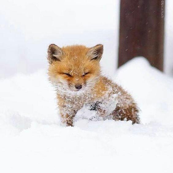 лисенок в снегу