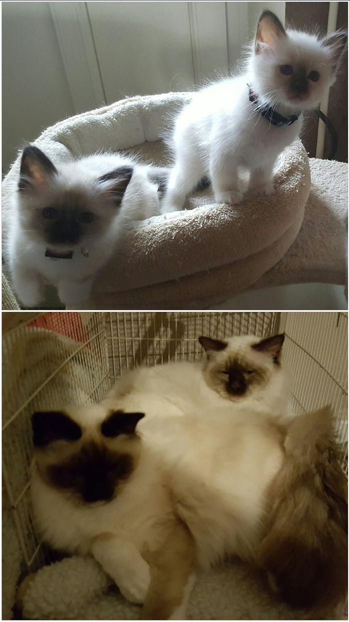 Два котенка и они же взрослые коты