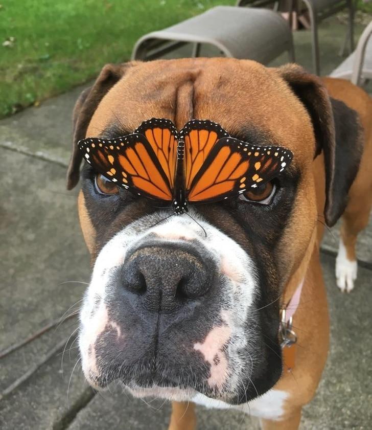 Собака с бабочкой на носу