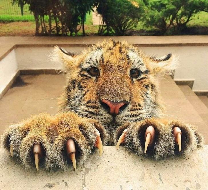 Тигр зацепился лапами и жалобно смотрит