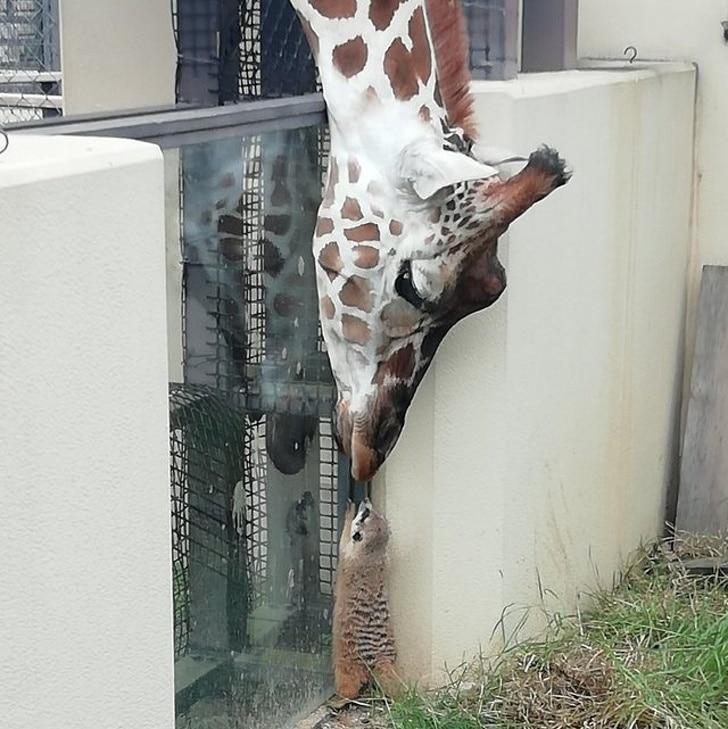 Жираф и енот