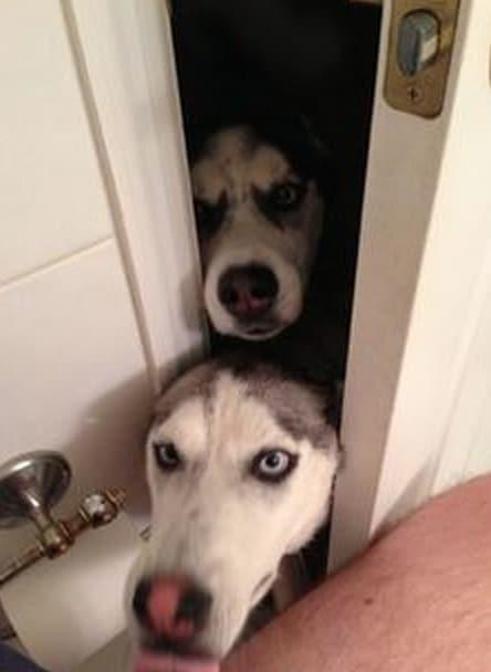 хаски в дверях