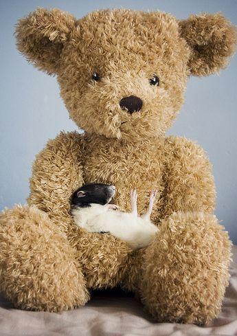 Крыса лежит на большой игрушке