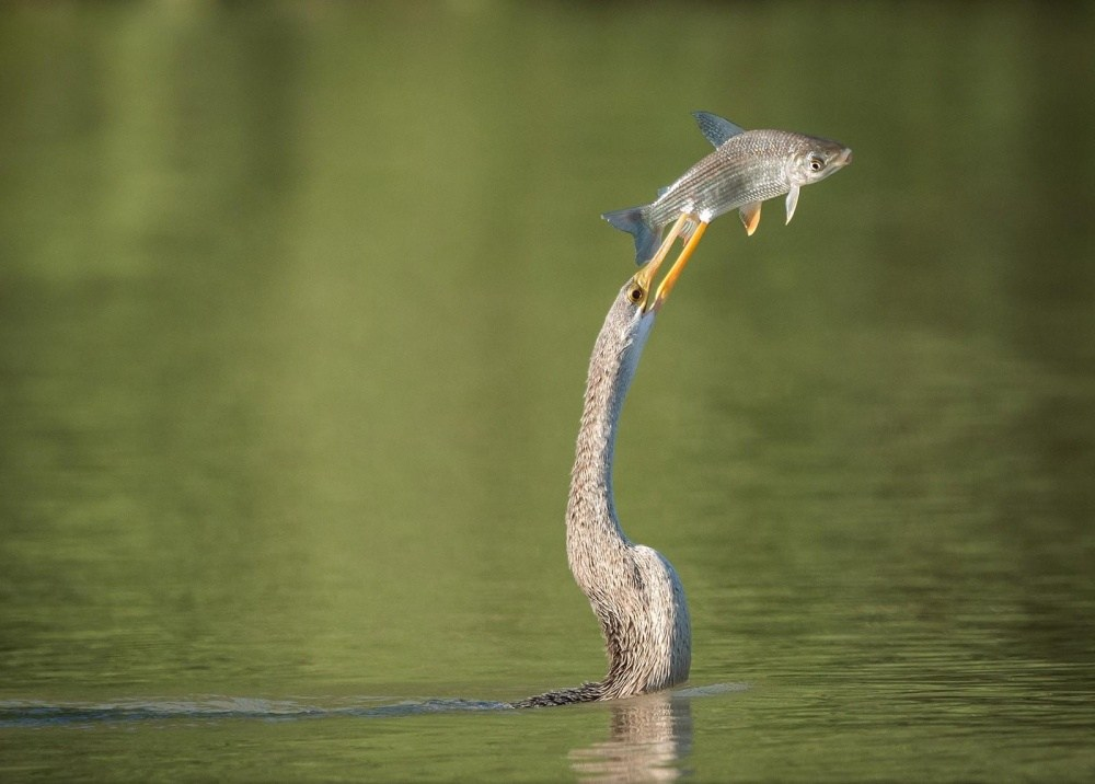 птица с рыбой в клюве