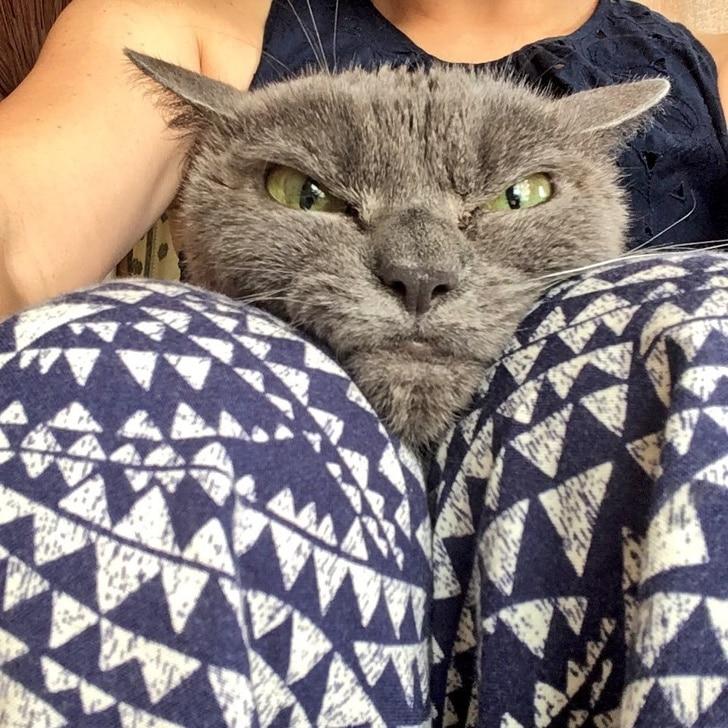 серый кот на коленях у хозяйки