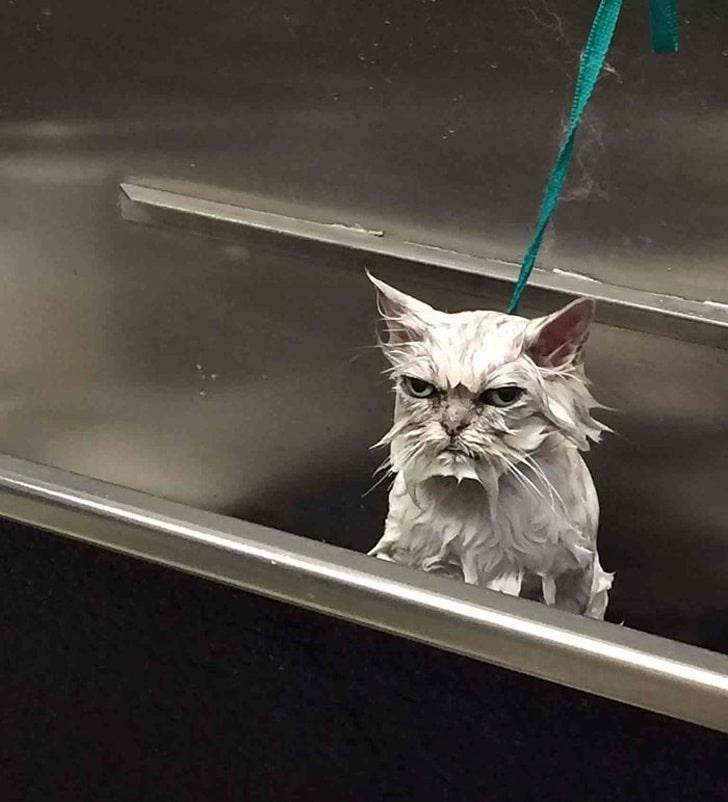 мокрый кот на поводке