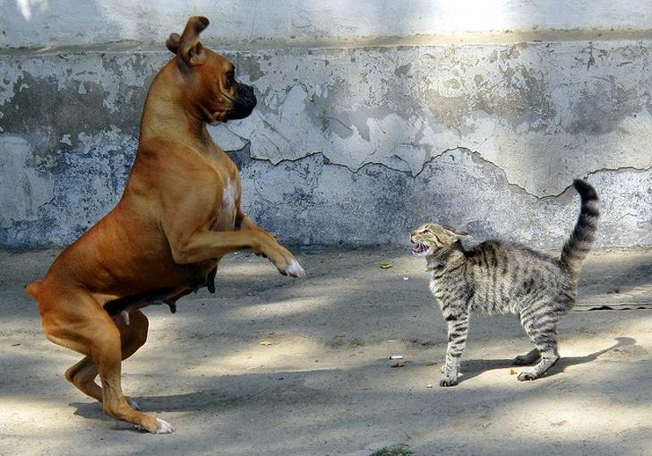 полосатый кот шипит на собаку боксера