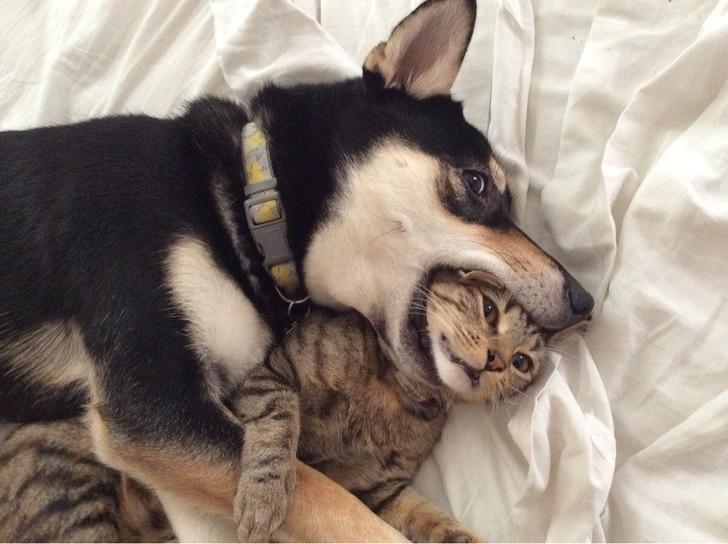 собака кусает кота за голову