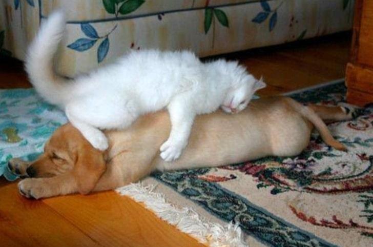 белый кот спит на рыжей собаке