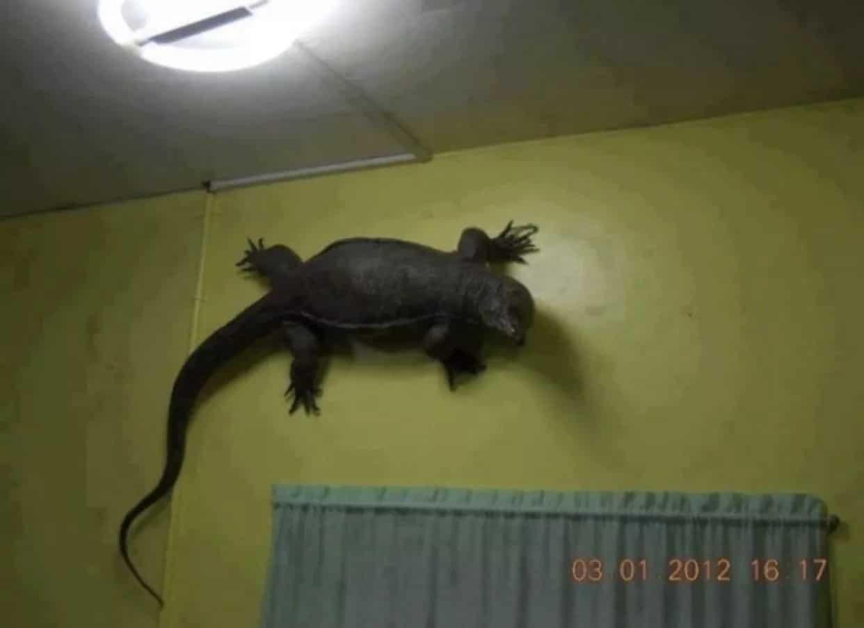 варан на стене