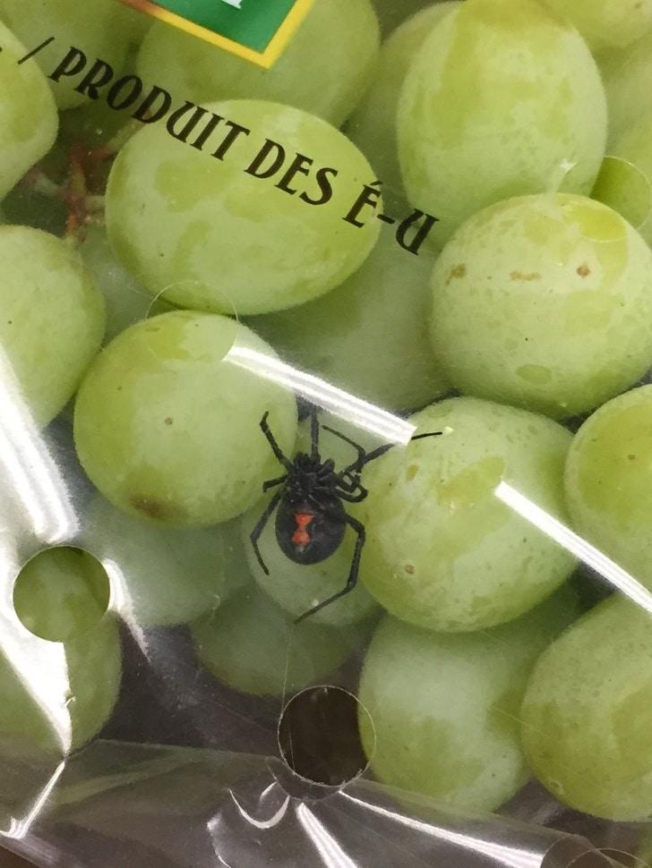 паук в винограде