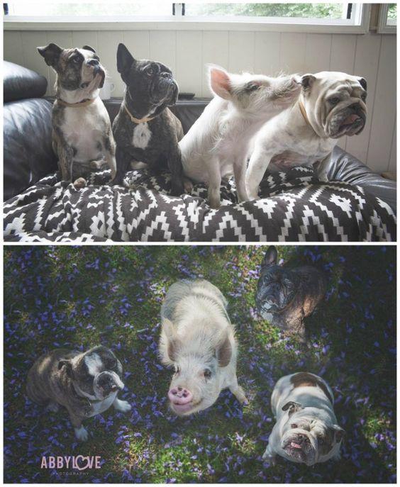Свинка и щенки, они же несколько лет спустя