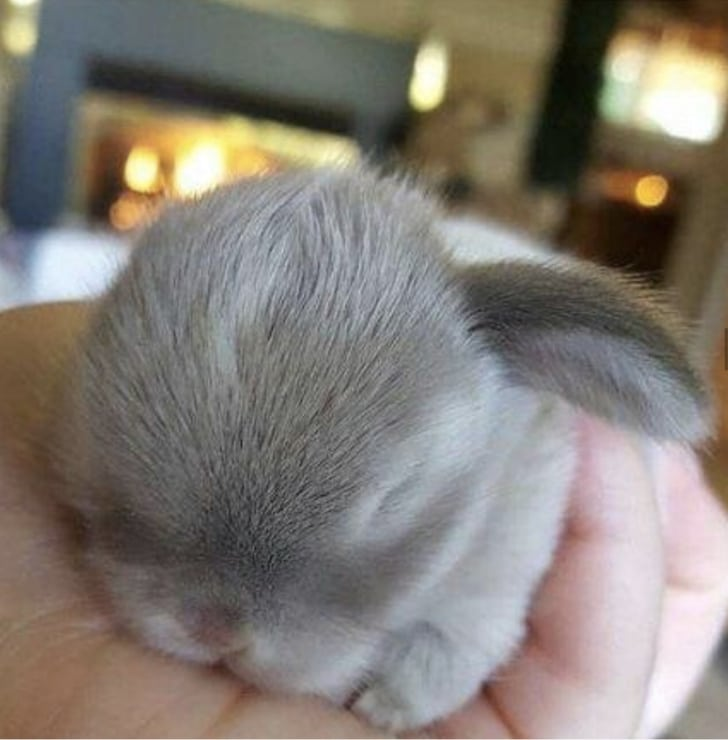 серый кролик спит на ладони