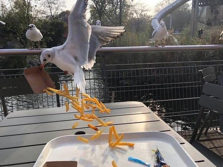 чайка ворует еду