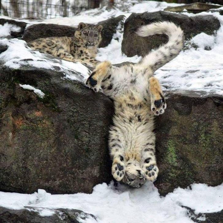 леопард висит вниз головой