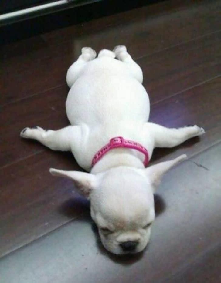 белая собака спит на полу