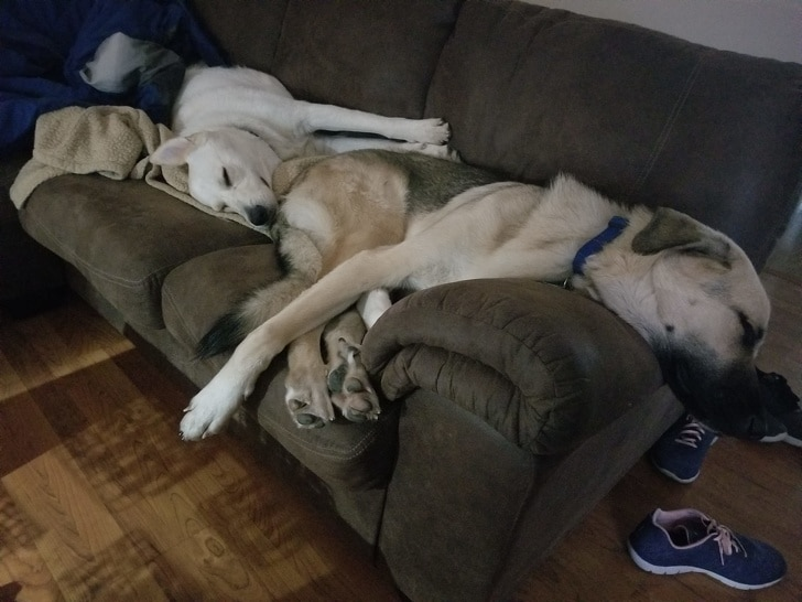 собаки спят на диване