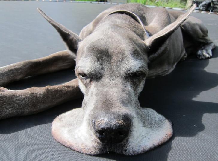 серая собака лежит на батуте