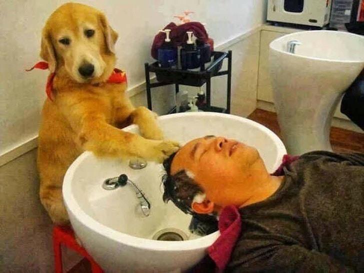 лабрадор моет голову мужчине