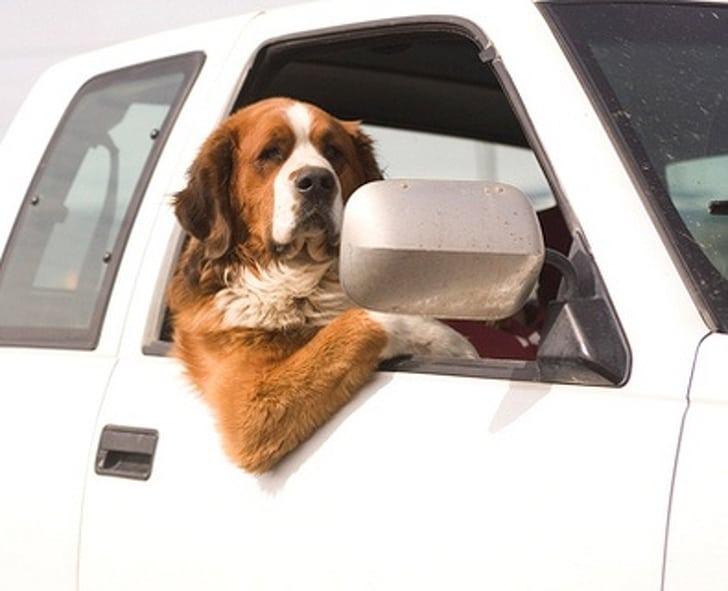 сенбернар в окне автомобиля