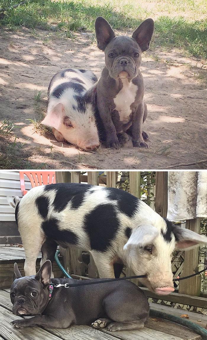 Свинка и собака в детстве и сейчас