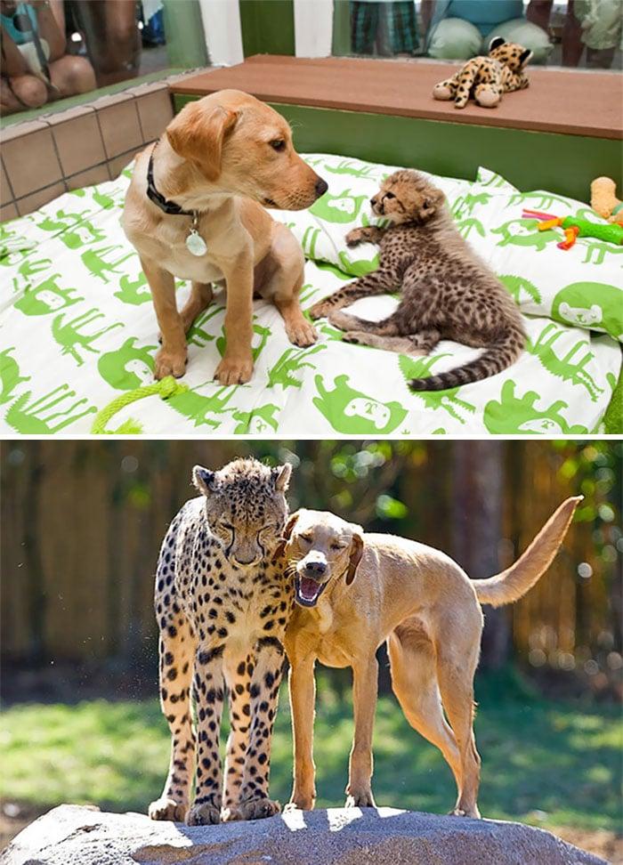 Щенок и гепард, они же во взрослом возрасте