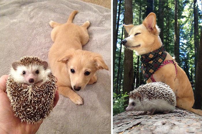 Ежонок и щенок фото, они же взрослые фото