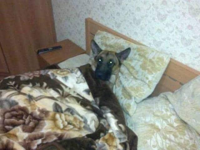 овчарка спит в кровати