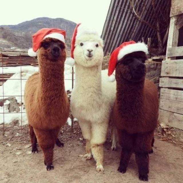 альпаки в новогодним шапках