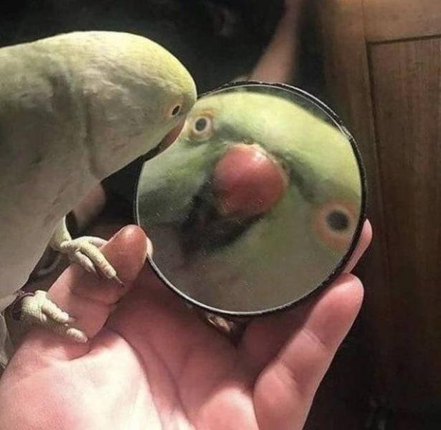 попугай и зеркало