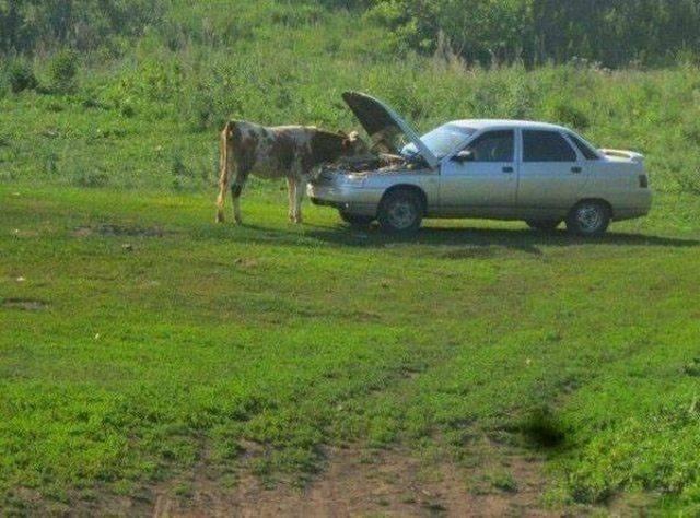 корова и машина