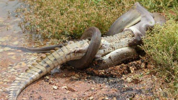 крокодил дерется со змеей