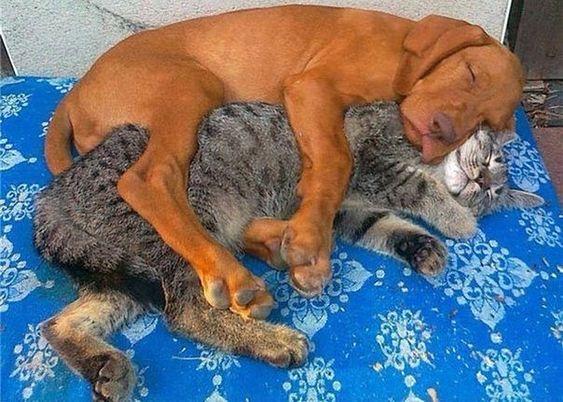 Кот и собака спят в обнимку