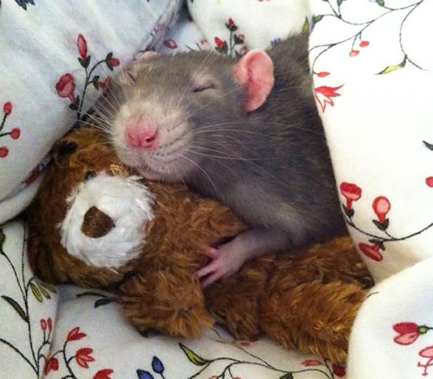 Крыса спит с игрушечным медведем
