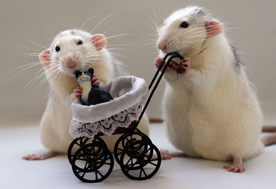 Крысы катают игрушечную коляску