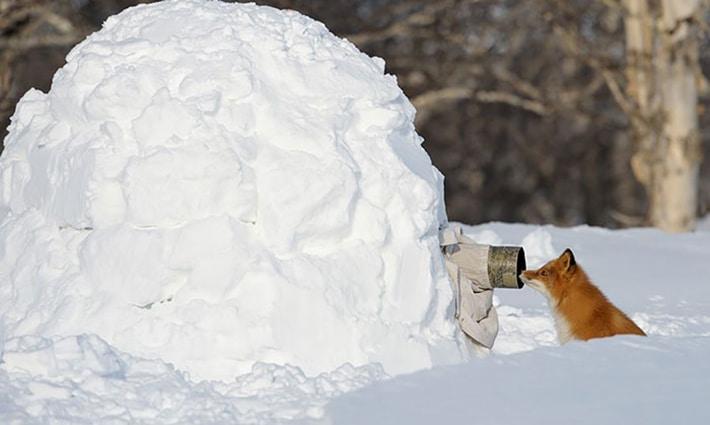 Фотограф в коме снега снимает лису