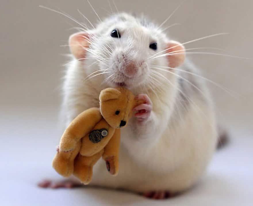 Белая крыса обнимает игрушку